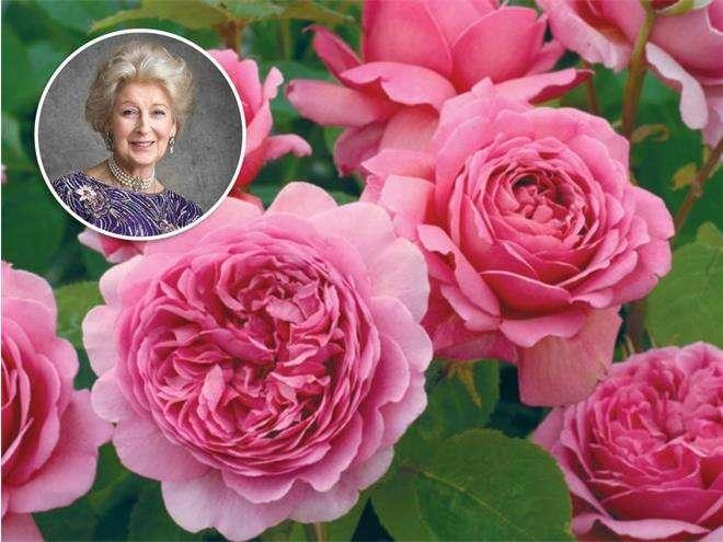 Роза «Принцесса Александра Кентская»