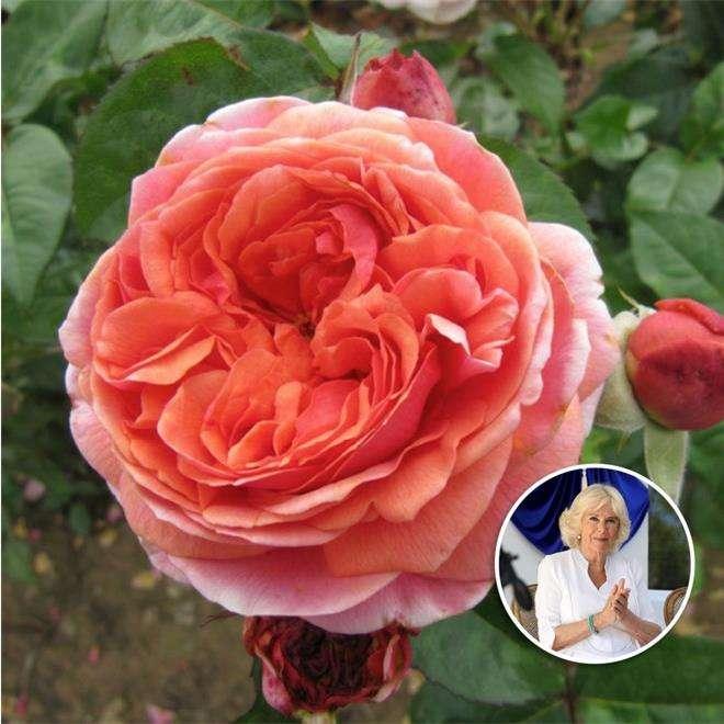 Роза «Герцогиня Корнуольская»