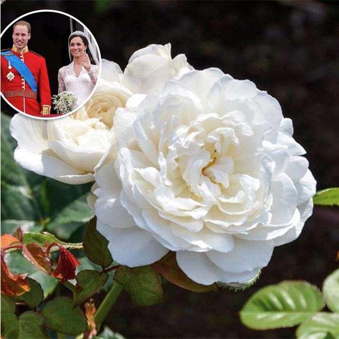 Роза «Уильям и Кэтрин»