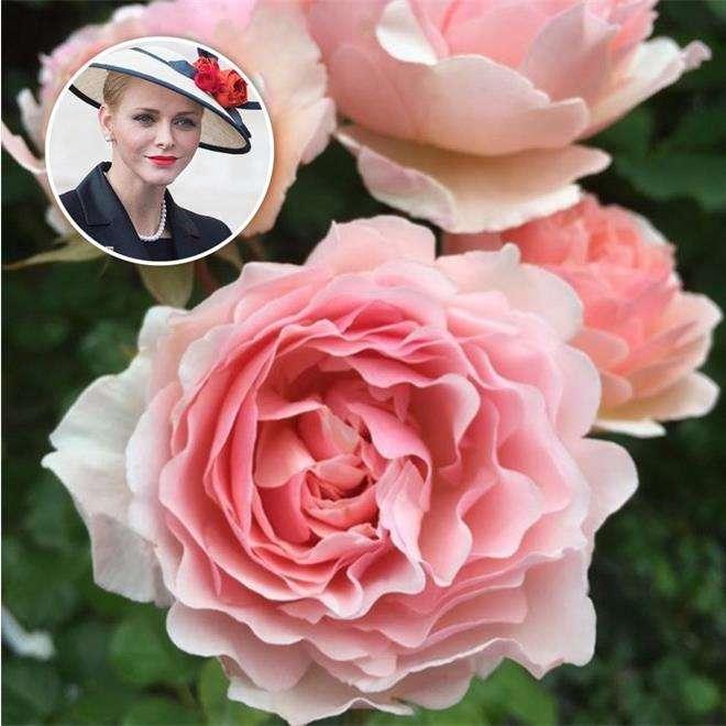 Роза «Принцесса Шарлин Монако»