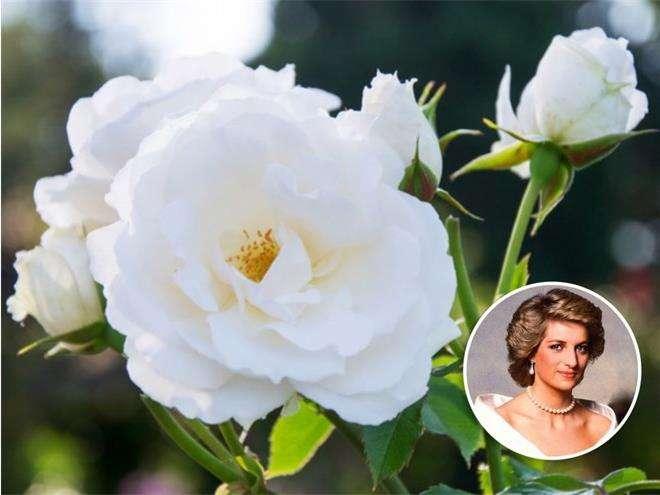 Роза «Принцесса Уэльская»