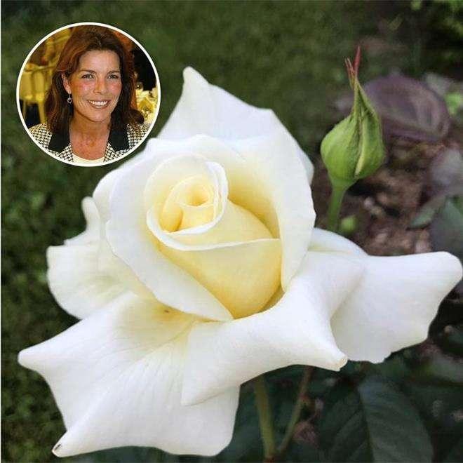Роза «Беззаботная Кэролайн»