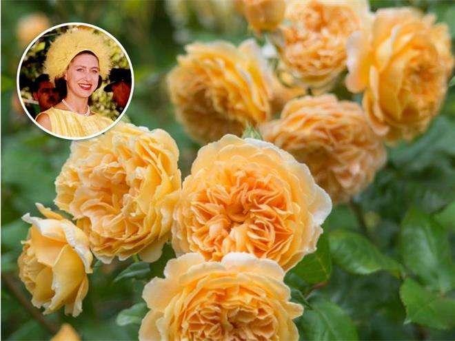 Роза «Кронпринцесса Маргарет»